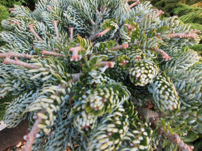 Conifer Abies Summerhill Garden Centre